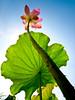 Sky Lotus 倚荷 (olvwu   莫方) Tags: plant flower leaf lotus bokeh farm taiwan ntu taipei bud laef lotusflower nelumbonaceae taipeicounty nelumbo sindian jungpangwu oliverwu oliverjpwu nelumbonucifera ntufarm proteales nelumbonuciferagaertn olvwu abigfave eastindianlotus sindiancity jungpang ntuangkangfarm