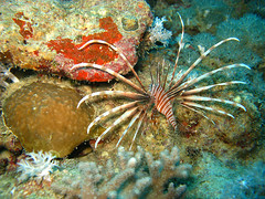lion fish (getzy777) Tags: travel red sea fish underwater lion saudi arabia jeddah reef corals
