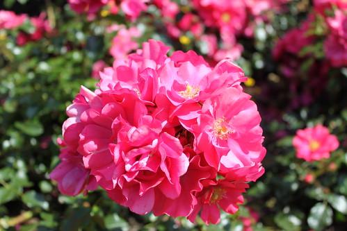 Rose Garden, Greenwich Park