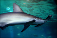 mano (Picture Life on an Island) Tags: shark mano mauioceancenter aumakua