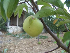 (somar ahmad) Tags: green home apple sweet