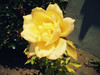 A New Beginning (KYin1221) Tags: california usa flower leaves rose yellow losangeles petals memories beginning stems thorns introspective kyphotography lostinlifeagain
