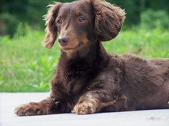 Doodle (LaursOnMars) Tags: cute puppy god chocolate adorable dachshund doodle maxie hopeful