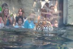 Heran Draws A Crowd (dbcnwa) Tags: usa animal cat colorado tiger denver sumatrantiger downtownaquarium denverdowntownaquarium heran