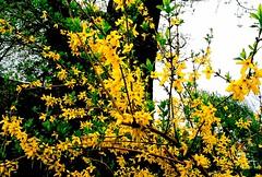 yellow flowers (pwners_manual) Tags: trees film 35mm mpls pentaxmesuper fujisuperiaxtra400 mayflowers springcolors quantaray28mm128