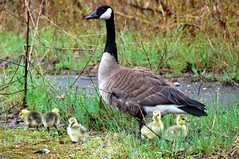 Canadian Goose with Chicks (AuntNett) Tags: birds geese goose chicks canadiangoose canadiangeese