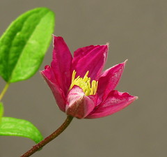 Betty's Clematis (Trish Overton) Tags: red flower clematis bloom bud evansvillein