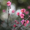 ume ... Japanese plum / Japanese apricot (_nejire_) Tags: pink red fab plant flower macro tree nature japan canon eos flora kiss blossom bokeh blossoms plum explore japaneseplum korakuen koishikawakorakuen naturesfinest 30faves fave20 50faves 10faves 20faves 40faves tamronspaf90mmf28dimacro11 25faves nejire 400d 340pm eos400d canoneos400d kissx fave10 45faves fave30 goldstaraward fave50 alemdagqualityonlyclub mhashi fave25 fave40 fave45