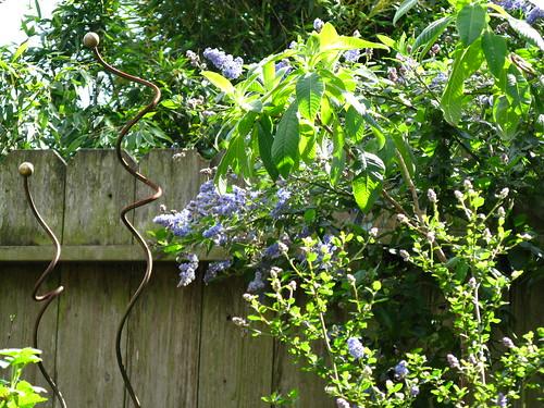 Ceanothus (x2) + Fuchsia boliviana