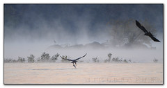 """The River"" (Nikographer [Jon]) Tags: nov morning november mist bird birds animal animals fog river md eagle baldeagle bald maryland 2008 greatblueheron susquehannariver theriver baldeagles haliaeetus leucocephalus gbh 20081101d30038123 2009fav1 wsop1"