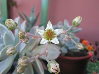 Grassa fiorita