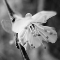 the first open (the incredible how (intermitten.t)) Tags: bw open plum czar domestica plumblossom prunus 2494 150309 thefirstblossom prunusdomesticaczar czarplum