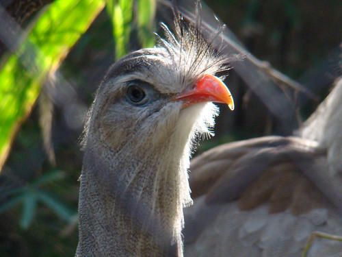 Red-legged Seriema at the Los Angeles Zoo