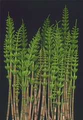 14403 Equisetum sylvaticum 386 (horticultural art) Tags: green shoot horticulture node horsetail equisetum internode whorled equisetaceae sylvaticum