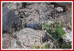 TORO ENTRE MARES (antonioanvie) Tags: flores mar murcia animales toro margaritas playas rocas pavos fotografias mazarron bolnuevo elleontranquilo