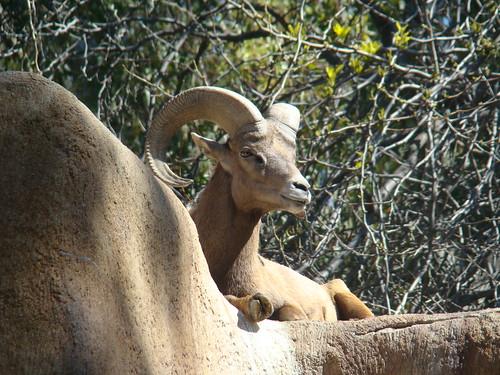 Bighorn Sheep at the Los Angeles Zoo
