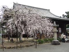 道成寺本堂としだれ桜