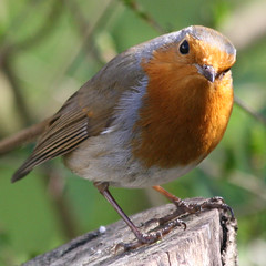Put that camera down and dig me up some more worms (Mukumbura) Tags: camera tree bird robin birds pose garden outdoors erithacusrubecula wildlife posing stump hungry worms compost stern treestump redbreast natureoutpost thebestofmimamorsgroups