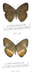 Euptychia insignis