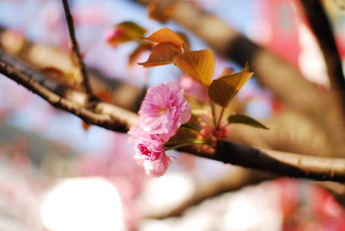 原宿の八重桜