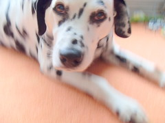 Eddie the Dalmation (goreckidawn) Tags: dog cute dogs woof animal four furry legs cuddly legged