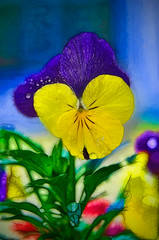 Pansy Watercolor (©Delos Johnson) Tags: watercolor nikon pansy topaz delos adjust simplify d300 fractilius