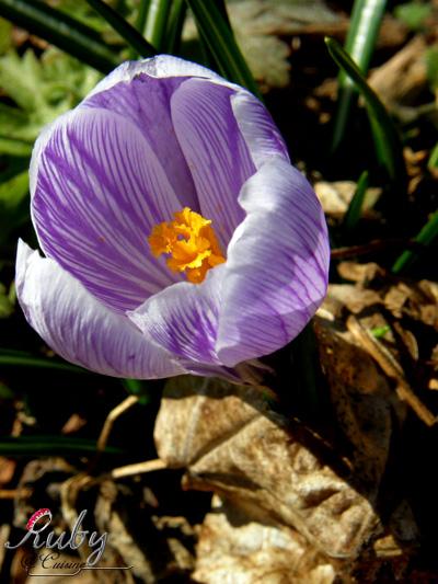 spring04_crocus