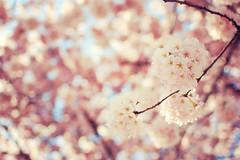 April (Jordan Chark) Tags: canada vancouver d50 spring nikon bc cherryblossom sakura 2009 nikkor35mmf18