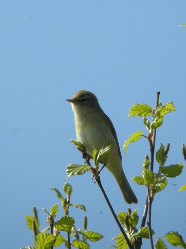 Willow Warbler by Simon