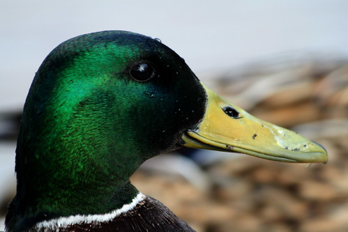 Mallard (by niklausberger)