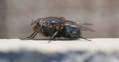 A lateral fly shot, probably a bluebottle.