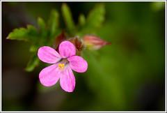 Flor (Geranium robertianum, por cortesía de Francesc B: https://www.flickr.com/photos/francescb/) (miguelangelortega) Tags: naturaleza flower macro nature nikon flor sigma105 d90 ltytr1