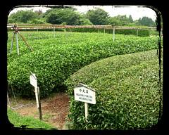 Tea leaf fields (GenevieveLB) Tags: leaves japan japanese tea greentea picking tealeaves tealeaf teapicking