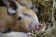 [フリー画像] [動物写真] [哺乳類] [豚/ブタ] [子豚] [寝顔/寝相/寝姿]      [フリー素材]