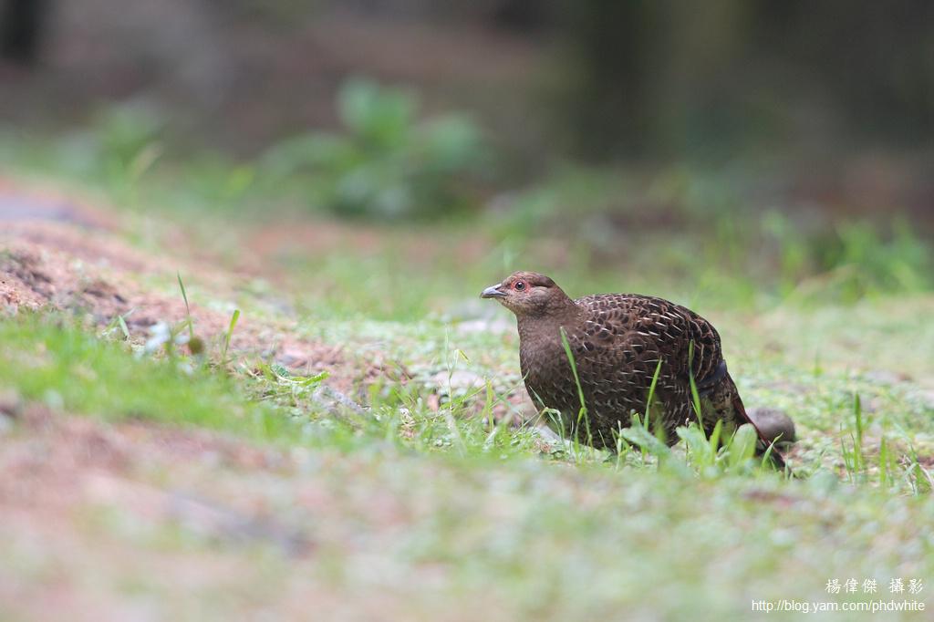 Mikado pheasant 帝雉 黑長尾雉 Syrmaticus mikado