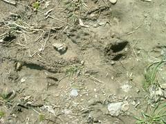 Deer Tracks #2