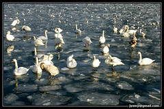 Cygnes dans les glaces (Hatuey Photographies) Tags: nature animal swan strasbourg ill alsace animaux cygne cygnes oiseaux glace hatueyphotographies ©hatueyphotographies