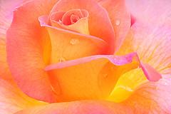 Rose Macro - IMG_7564 (Bahman Farzad) Tags: macro rose closeup upclose rosemacro macrorose closeuprose rosecloseup stunningphotogpin