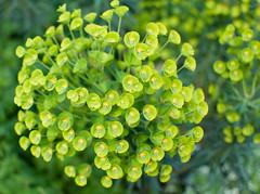 Euphorbia 2 (ijb_1979) Tags: foresthill hornimanmuseum nikon35mmf18gafsdx