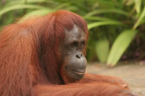 Mother and child Orangutan at Semenggoh