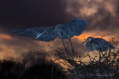 Twilight Flight (Blair Photography) Tags: twilight dusk sunsets birdsinflight wako wakodahatchee greatblueherons floridabirds nestingbirds vosplusbellesphotos