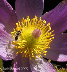 Pulsatilla and Syrphid Fly (Todd Boland) Tags: flowers insect ranunculaceae pulsatilla syrphid masterphotos