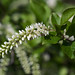Itea virginica 'Little Henry'