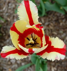 Tuliped (S&J Inc.) Tags: park flowers plant flower spring blossom tulip bloom blooms lombard blosssoms awsomeblossoms lillaciapark lillacia
