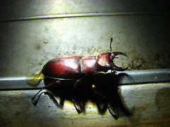 IMG_7633 (TheEvillOnes) Tags: bug beetle pinchers