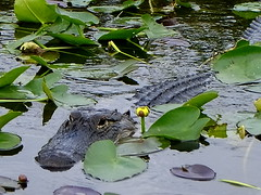 The Alligatore (Andrs) Tags: florida miami wildlife caiman everglade alligatore faunasalvaje pnatanos