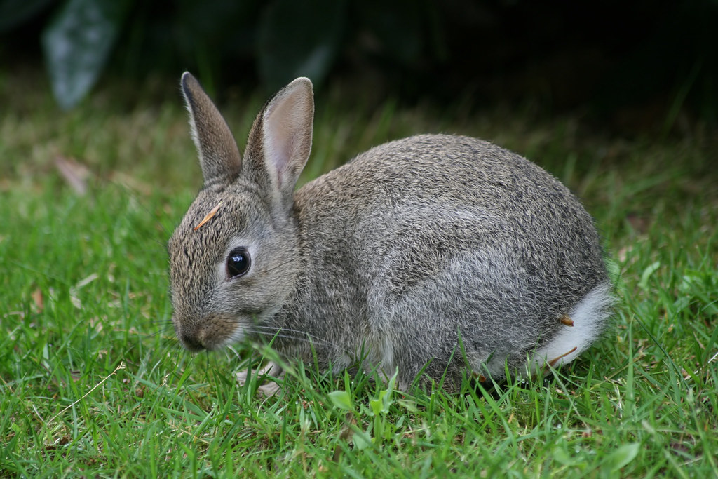 how to write a genus name for rabbit