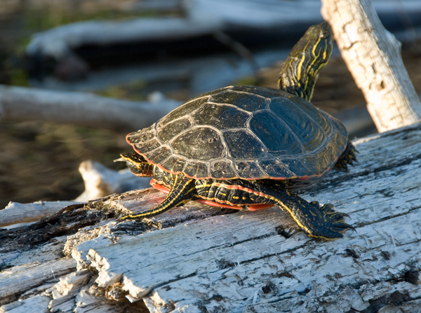painted turtle at sunset, Patterson Lake