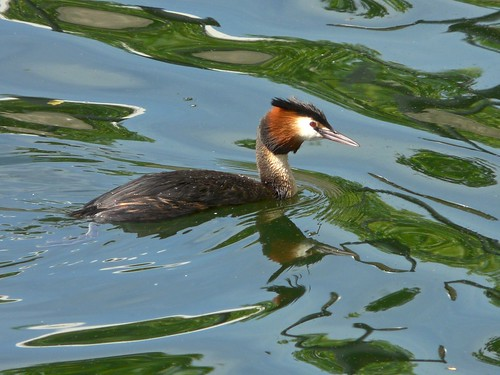 Great Crested Grebe on Greenland Dock