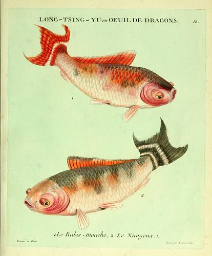 006- La mosca rubi y el nebuloso-Histoire naturelle des dorades de la Chine-Martinet 1780